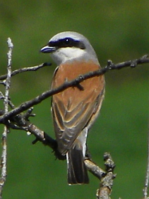 Red-backed Shrike – Lanius collurio © Teresa Farino