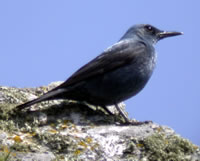 Blue Rock Thrush © John Muddeman
