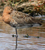 Birds and birdwtatching in Spain - Black-tailed Godwit © John Muddeman