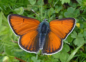 Purple-edged Copper - Lycaena hippothoe © John Muddeman