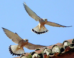 Birds and birdwtatching in Spain - Lesser Kestrel © John Muddeman